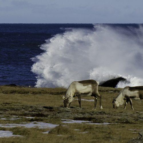 reindeer -visti vatnajokull