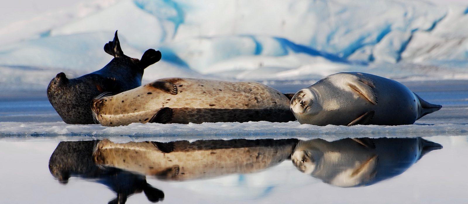 seels on glacier lagoon -visit vatnajokull